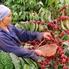 Export coffee price at 3-year high
