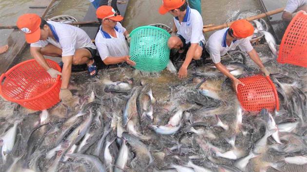 """Xuất khẩu cá tra bật tăng trở lại sau 2 năm """"tuột dốc"""""""