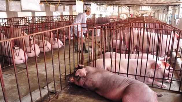 Giải pháp nào cho 1,5 triệu con lợn quá lứa đang ứ đọng?