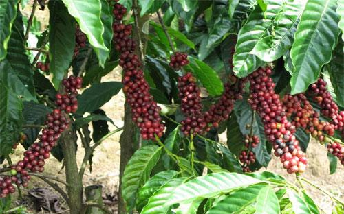 Cà phê là một trong những nông sản xuất khẩu mang lại kim ngạch lớn nhất cho Việt Nam.<br>