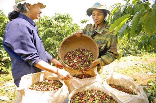 Cà phê robusta hiện chiếm 97% sản lượng cà phê của Việt Nam.