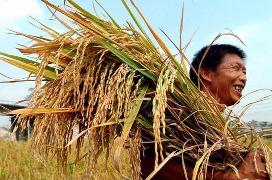 Thương lái cho biết, kế hoạch mua 500.000 tấn gạo tạm trữ của Chính phủ trong vụ thu hoạch lúa Hè Thu nhằm hỗ trợ giá lúa sẽ có ảnh hưởng tâm lý nhất định đối với thị trường trong ngắn hạn.