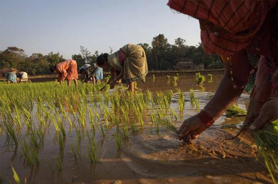 Việc Ấn Độ bãi bỏ lệnh cấm xuất khẩu gạo sau 3 năm vào năm ngoái và dự báo về lượng mưa vừa phải sẽ thúc đẩy người nông dân trồng thêm lúa - Ảnh: Bloomberg.