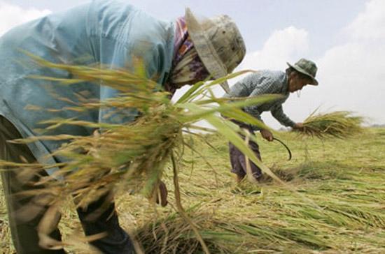 Nông dân Thái Lan thu hoạch lúa - Ảnh: AFP.