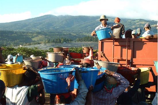 Thu hoạch cà phê ở Brazil.