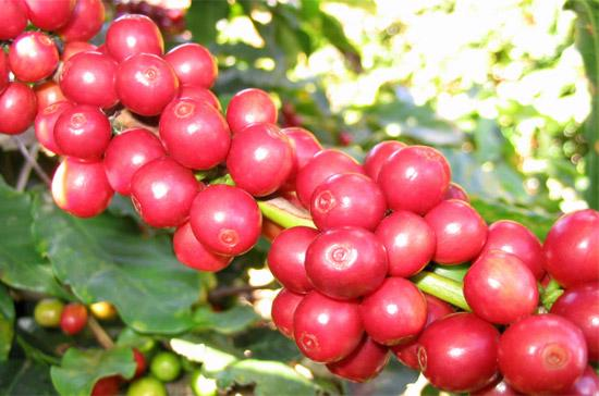 Mức dự báo giảm về sản lượng cà phê của Việt Nam củng cố thêm những đồn đoán cho rằng, nguồn cung cà phê robusta trên thế giới sẽ hạn hẹp trong năm sau trong bối cảnh nhu cầu gia tăng.