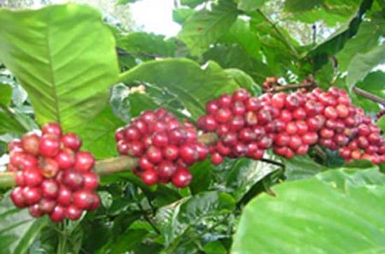 Việt Nam đang chuẩn bị bước vào một vụ cà phê mới.