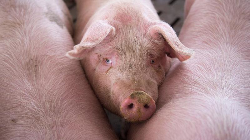 Trong 1 năm qua, Trung Quốc đã mất khoảng 100 triệu con lợn vì dịch tả lợn châu Phi.