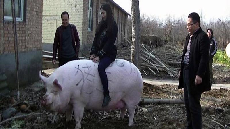 Một vị khách ngồi trên lưng một con lợn năng 750 kg trong một trại lợn ở Trịnh Châu, Trung Quốc - Ảnh: Imaginechina/Bloomberg.