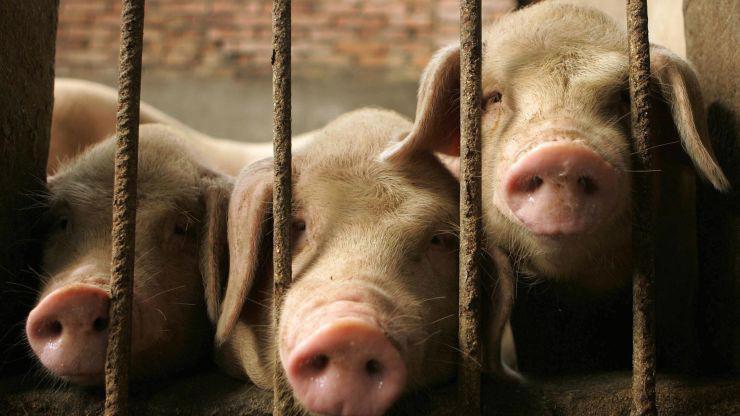 Trung Quốc mất nửa đàn lợn vì dịch tả lợn châu Phi - Ảnh: Getty/CNBC.