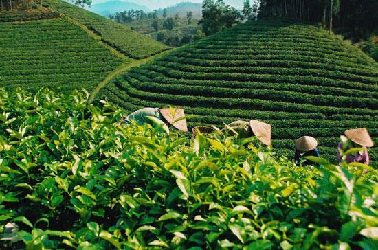 Ở Việt Nam cây chè phát triển tại 34 tỉnh, thu hút khoảng 6 triệu lao động.