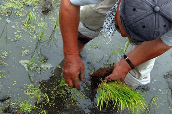 Nhật Bản đã bảo hộ nông nghiệp nội địa nhiều năm nay - Ảnh: JPNews.