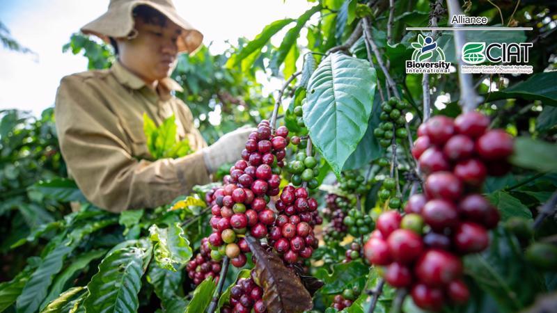 Các nông hộ trồng cà phê đang phải đối mặt ngày càng nhiều với các rủi ro về khí hậu như hạn hán kéo dài và lượng mưa ít, điều này có thể phá hủy quá trình ra hoa của cây trồng.
