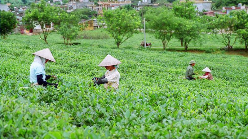 Theo Bộ Nông nghiệp và Phát triển Nông thôn, thời tiết ấm áp và ẩm ướt tạo điều kiện thuận lợi cho búp chè phát triển, nguồn cung hứa hẹn sẽ dồi dào giúp giá chè ổn định.