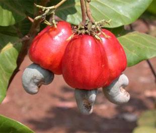 Điều là cây dễ trồng thích hợp với nhiều vùng đất, nếu được chăm sóc tốt cho kết quả cao, còn không - nếu để vậy đến mùa vẫn ra hoa kết trái, tất nhiên là năng suất thấp.