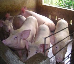 Tình hình khó khăn đang đè nặng lên các hộ chăn nuôi lợn.