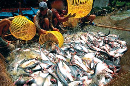 Cá tra, cùng với tôm, là sản phẩm chủ lực của xuất khẩu thủy sản Việt Nam, đóng góp tới 73% trong tổng giá trị xuất khẩu thủy sản năm 2010.