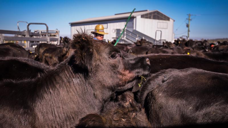 Khác với bò Mỹ, bò Úc chủ yếu ăn cỏ thay vì ngũ cốc. Do đó, biến đổi khí hậu có thể gây thêm áp lực đối với việc tái đàn nhanh chóng - Ảnh: Bloomberg