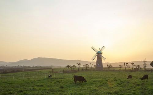Các cô bò được chăn thả tự do trên trang trại 76.2 hecta.