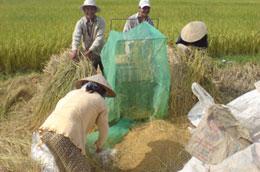 Năm 2009 sản lượng lúa đạt 38,9 triệu tấn, tăng 116 nghìn tấn so với năm 2008.