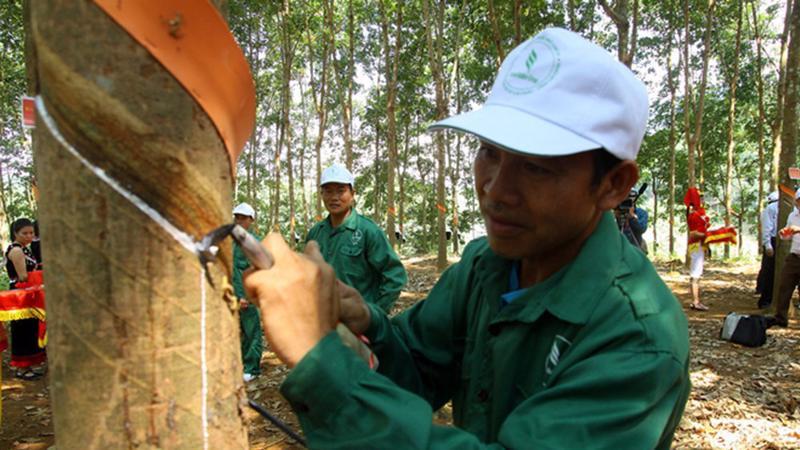 Mô hình góp đất trồng cao su đã thay đổi rất lớn quỹ đất canh tác hàng năm của các hộ dân.