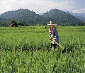 Chương trình can thiệp thị trường thóc gạo của Chính phủ Thái Lan làm giá thóc gạo nội địa của nước này vững ở mức cao.