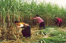 Từ 12/10 mía nguyên liệu ở Đồng bằng sông Cửu Long đã tăng thêm 20.000 đồng/tấn. Giá thu mua mía 8 chữ đường tại ruộng hiện tại là 650.000 đồng/tấn, mía 10 chữ đường là 750.000 đồng/tấn.