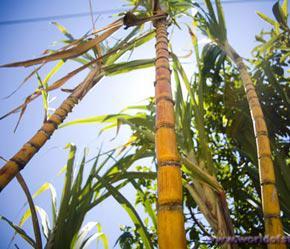 Sự kiện hợp tác của SBT có ý nghĩa rất lớn đối với ngành mía đường của Việt Nam.