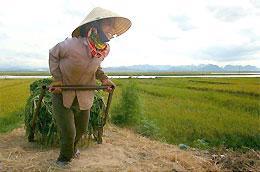 Hội Nông dân đề nghị Chính phủ xem xét ý tưởng thành lập quỹ hỗ trợ nông dân sản xuất lúa gạo xuất khẩu.