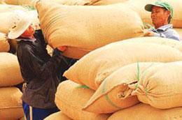 Nông dân đồng bằng sông Cửu Long đang thu hoạch lúa vụ 3 ước chừng 1 triệu tấn gạo hàng hóa.