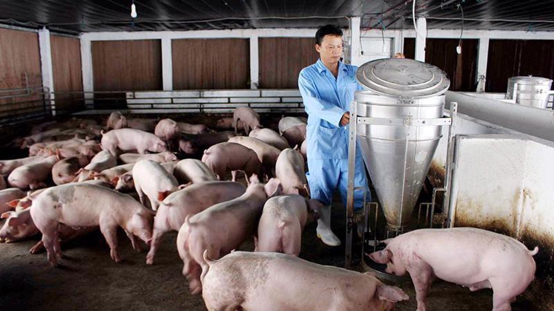 Giá thành chăn nuôi lợn ở nước ta còn cao