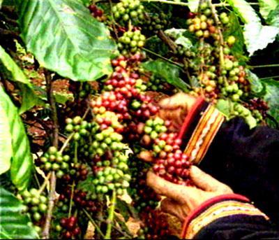 Hiện sản lượng cà phê của Đắc Lắc chiếm 60% tổng sản lượng cà phê của cả nước.