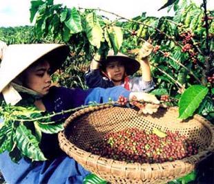 Sản xuất nông, lâm nghiệp chiếm tỷ trọng cao trong cơ cấu GDP của khu vực Tây Nguyên.