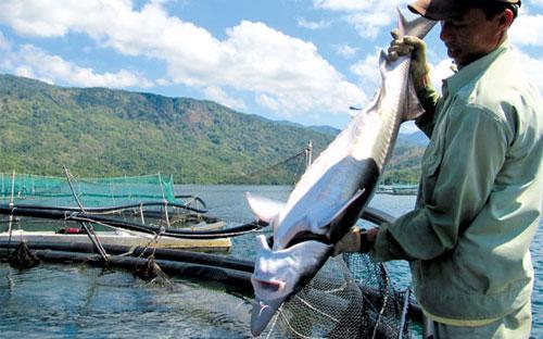 Nuôi cá tầm trên hồ thuỷ điện Hàm Thuận - Đa Mi. <br>