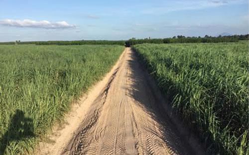 Cánh đồng mía quy hoạch tập trung thuộc vùng nguyên liệu mía của TTCS (tỉnh Tây Ninh).