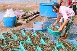 Năm nay tôm nuôi Sóc Trăng chỉ đạt khoảng 20% sản lượng so năm trước do tôm bị thiệt hại nặng nề trên diện rộng.