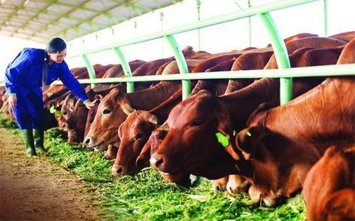 HAGL cho biết doanh thu bán bò trong quý 1/2017  chỉ đạt 196 tỷ đồng do thiếu nguồn vốn lưu động nên quy mô chăn nuôi bò  giảm mạnh.