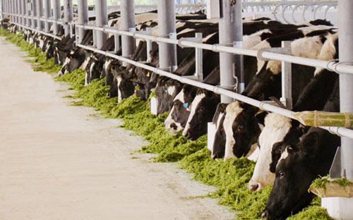 Vinamilk đã có 10 trang trại trải dài khắp Việt Nam, đều có quy mô lớn với toàn bộ bò giống nhập khẩu từ Úc, Mỹ, và New Zealand.