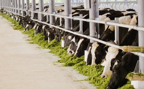 Vinamilk đã có 7 trang trại đang hoạt động và 3 trang trại đang xây dựng đều có quy mô lớn, với toàn bộ bò giống nhập từ Úc, Mỹ và New Zealand.