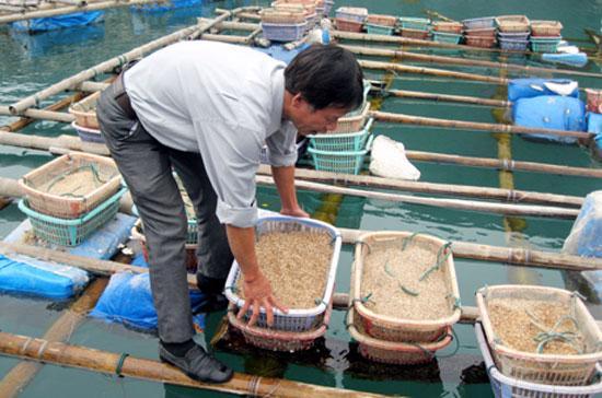 Qua kiểm tra thực tế tại khu vực nuôi tu hài của một số hộ dân tại các xã Bản Sen, Minh Châu và khu bè nuôi tu hài của Công ty TNHH Quan Minh, hầu hết tu hài nuôi của các hộ dân và doanh nghiệp đều bị chết trên 90%.