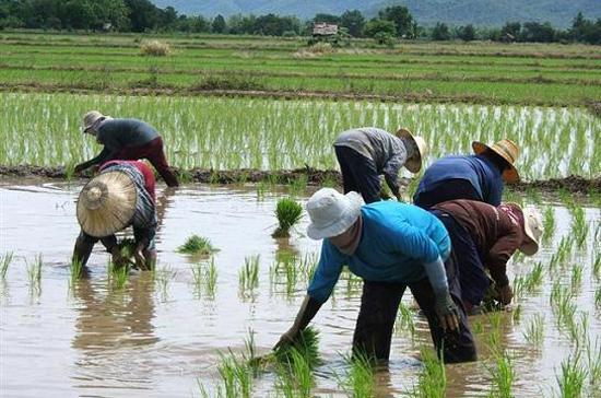 Thái Lan là một trong những quốc gia xuất khẩu gạo nhiều nhất thế giới.