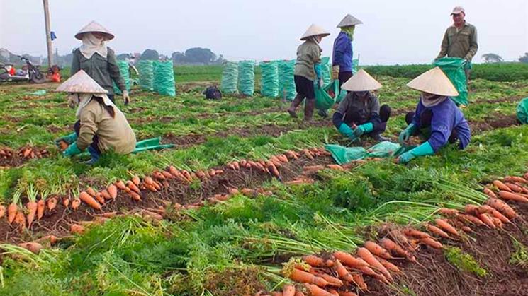 Thu hoạch cà rốt ở Hải Dương.