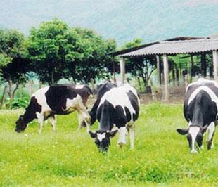 Theo Cục Chăn nuôi, hiện nay cả nước có gần 100.000 bò sữa, tổng sản lượng sữa đạt 235.000 tấn/năm, mới đáp ứng được 20% nhu cầu nguyên liệu sữa cho các nhà máy chế biến.