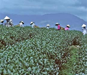 Chè Việt Nam đứng vị trí thứ 6 thế giới về khối lượng xuất khẩu, với sản phẩm khá đa dạng - Ảnh: Christian Puff.