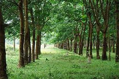 Công ty sẽ xây dựng nhà máy chế biến mủ cao su và sẽ sử dụng hoàn toàn lao động người Lào, đồng thời đảm bảo các yêu cầu về môi trường - Ảnh minh họa.