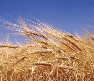 Năm nay, điều kiện thời tiết không thuận lợi như năm ngoái sẽ khiến sản lượng lúa mỳ thế giới có thể bị giảm khoảng 40 triệu tấn.