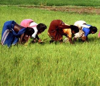 Nông dân trồng lúa ở Ấn Độ.