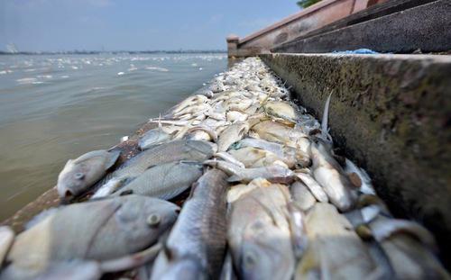 Tổng cộng đã có khoảng 200 tấn cá chết tại hồ Tây hồi đầu tháng 10 vừa qua.<br>
