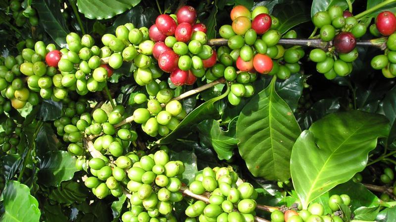 Cà phê vối là loại cây kén đất trồng, Điện Biên là một trong số ít nơi trồng được giống cà phê này.
