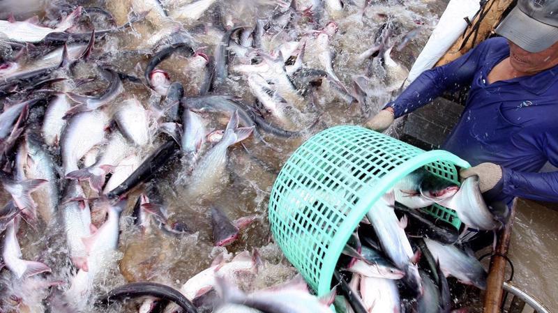 Cá tra Việt Nam xâm nhập thị trường Trung Quốc